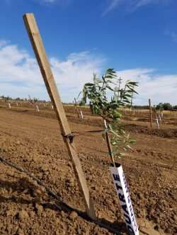 Almond Tree Stakes by Phoenix