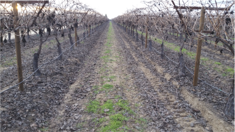 vineyard rows with poles