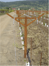 vineyard rows overview with poles